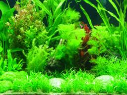 plantes eau douce aquarium