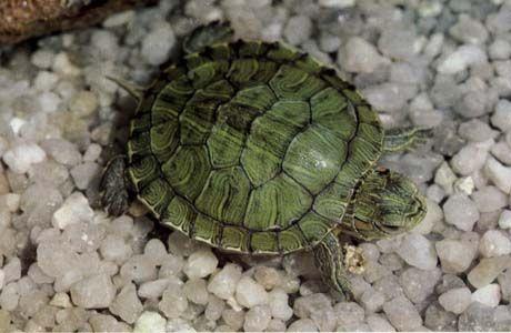 Filtre à décantation pour terrarium à tortues Cscripta